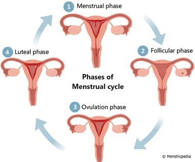 menstruation cycle pictures